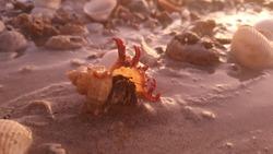 Hermet Crab at Barred Creek Western Australia