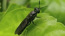 Hermetia illucens, the black soldier fly, is a common and widespread fly of the family Stratiomyidae.