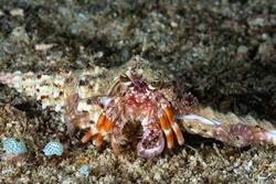 Hermit Crab Dardanus sp. Philippines