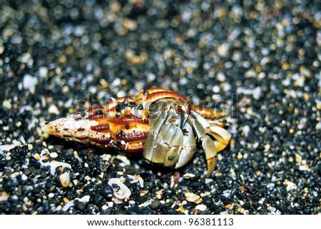 Hermit Crab, Galapagos