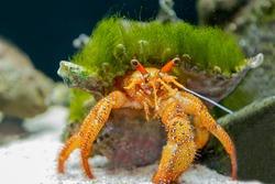 Hermit crab in the aquarium close-up