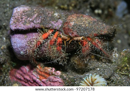 Hermit crab in the trpical waters of bali