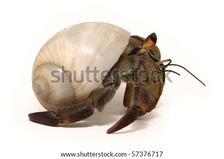 Hermit crab isolated on white