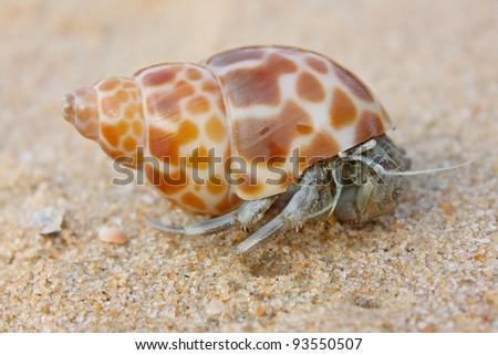 hermit crab on the beach in Varkala, India - stock photo