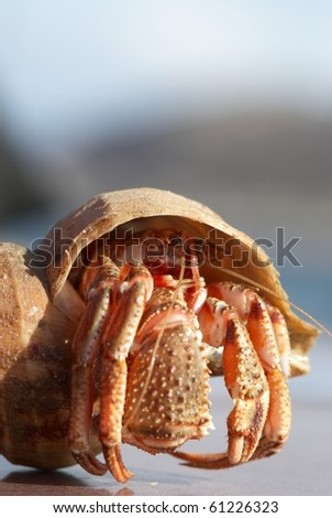 Hermit crab peeking from its conch