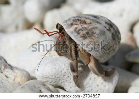 Hermit crab perched on a piece of coral.