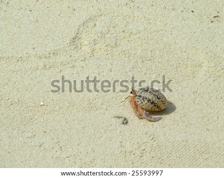 Hermit crab scurrying toward the ocean on a hot tropical day