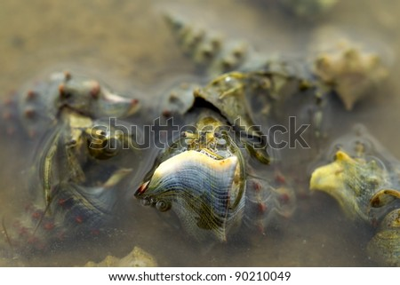 Hermit crabs mating in shallow warm waters of Pacific coast