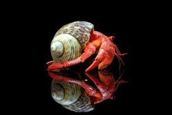 Hermit crabs with black background,