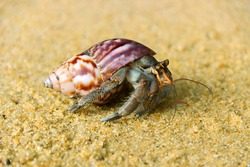 Hermit or diogenes crab in a beautiful gastropod shell as dwelling with water. Posibly from genus Coenobita