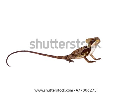 Hernandezs helmeted basilisk on white #477806275