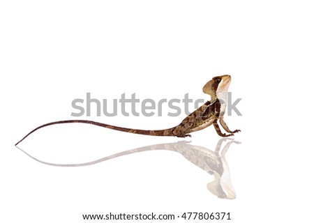 Hernandezs helmeted basilisk on white #477806371