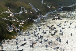 heron and seagulls hunting in the Italian swamps po delta regional park comacchio iitaly europe