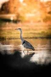 Heron bird walking in a pond