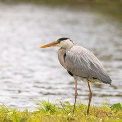 Heron by the water waiting for prey to eat, Dutch wildlife photography, bird photo, Dutch nature The herons are long-legged freshwater and coastal birds in the family Ardeidae