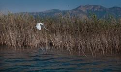 Heron flies on the Dalyan River