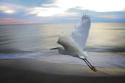 Heron flying near ocean