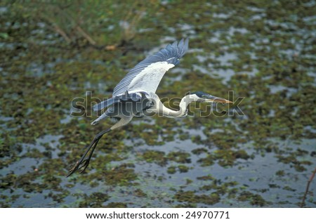 Heron flying over the weed covered water of the Brazilian Pantanal.