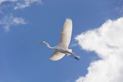 Heron flying with open wings, blue sky and white clouds.