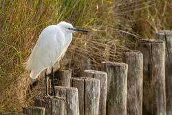 heron hunting in the Italian swamps o delta regional park comacchio iitaly europe