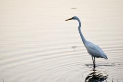Heron in Lake catching fish