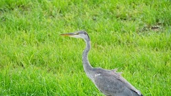 Heron in nature. Bird in wild life on the lookout with grassland in background.