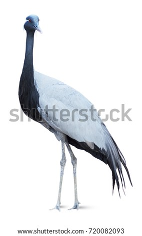 Heron isolated on white background