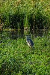 Heron,  long-legged freshwater and coastal bird, standing still while fishing and feeding in a marsh and pond.