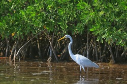 heron mangrove, wildlife, white heron in the jungle