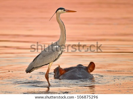 Heron on a hippo, South Africa