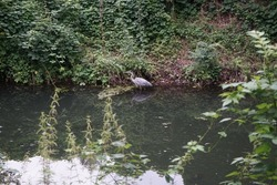 Heron on the Wuhle River in August. The gray heron, Ardea cinerea, is a long-legged predatory wading bird of the heron family, Ardeidae. Berlin, Germany