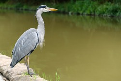 Heron standing by a river