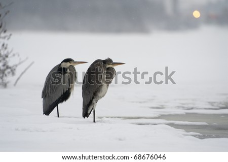Herons in snow and ice