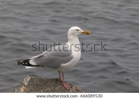 Herring Gull #666089530