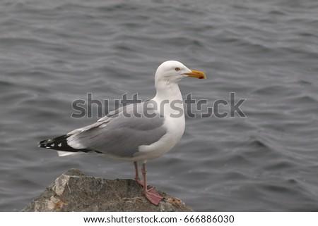 Herring Gull #666886030