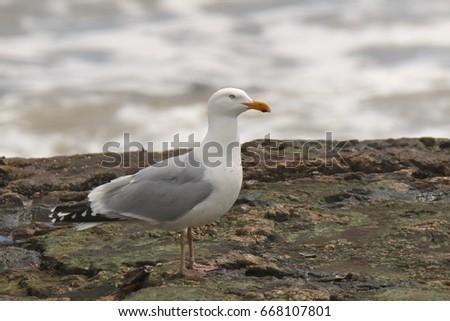 Herring Gull #668107801