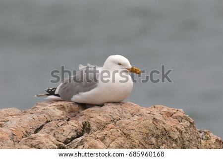 Herring Gull #685960168