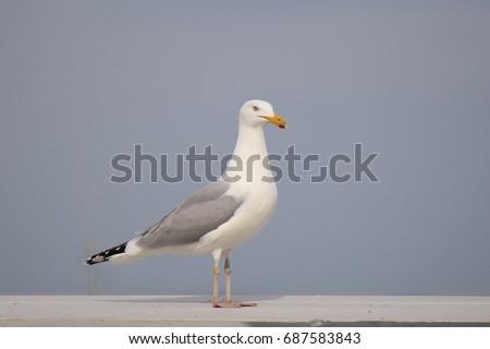 Herring Gull #687583843