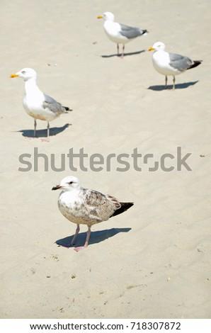 Herring gull  #718307872
