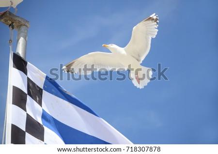 Herring gull  #718307878