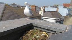 Herring Gull and eggs on the nest