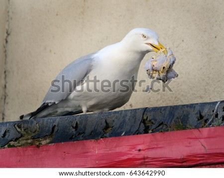 Herring Gull feeding on rubbish. The European herring gull is a large gull. One of the best known of all gulls along the shores of western Europe, it was once abundant. #643642990