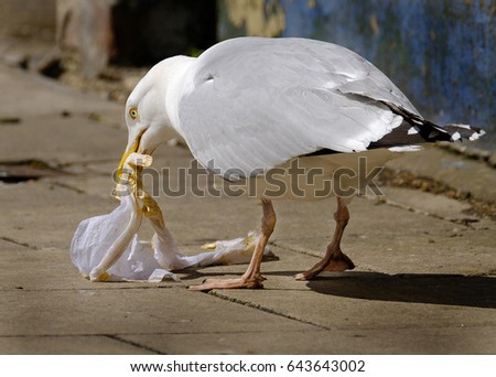 Herring Gull feeding on rubbish. The European herring gull is a large gull. One of the best known of all gulls along the shores of western Europe, it was once abundant. #643643002