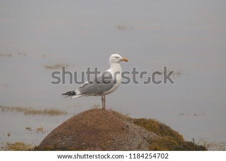 Herring Gull (larus argentatus smithsoniasu) #1184254702