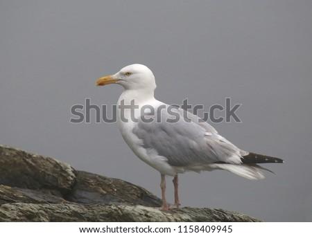Herring Gull (larus argentatus smithsoniaus) #1158409945