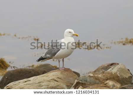 Herring Gull (larus argentatus smithsoniaus) #1216034131