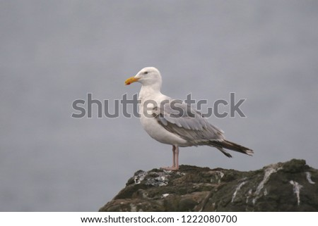 Herring Gull (larus argentatus smithsoniaus) #1222080700