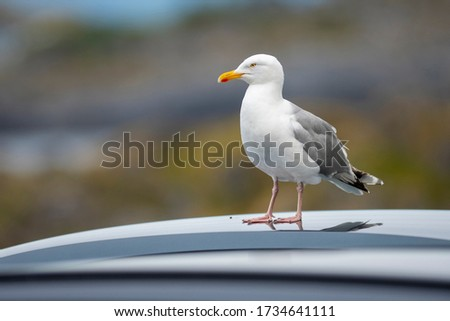 Herring gull (Larus argentatus) standing on a roof of a car with soft background of other cars on an overcast summer day near the ocean. Wildlife seabird photography, birdwatching travel destination.