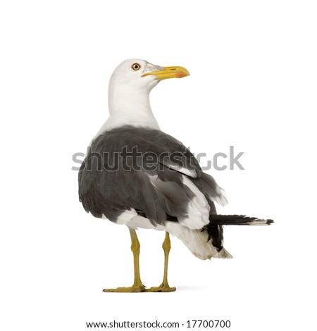 Herring Gull - Larus argentatus (3 years) in front of a white background