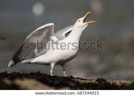 Herring Gull, Sea Gull #687244015